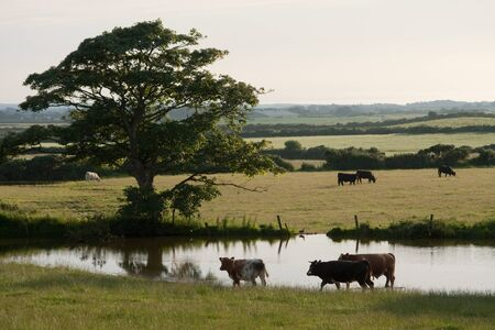 Photograph of grazing caws in countryside farm  photo