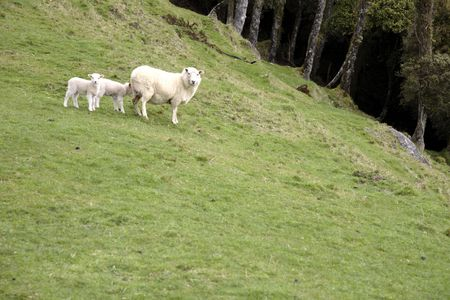 Sheep Stock Photo - 3622226