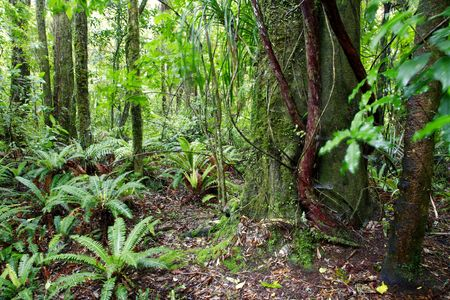 species of creeper: Tropical forest