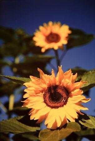 Sunflowers Stock Photo - 4617957
