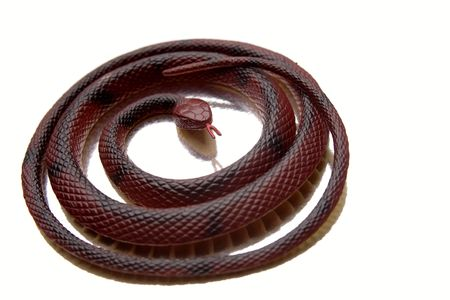 coiled: Snake coiled over white background