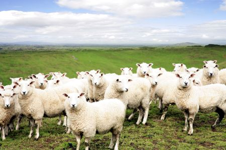 facing the camera: Sheep standing in paddock. Facing camera.