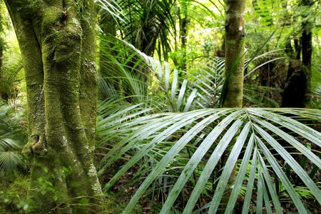 Dense tropical forest in north island of New Zealand.    Stock Photo - 5972478