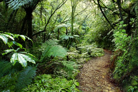 dense forest: Walking trail in New Zealand tropical forest