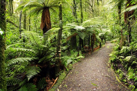 Walking trail in New Zealand tropical forest  photo
