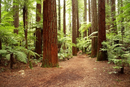 Redwood forest photo
