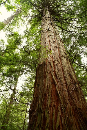 huge: Tall Redwood tree Stock Photo