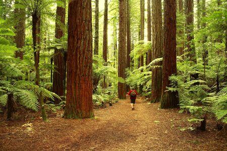 tramping: Tramper en el bosque de redwood
