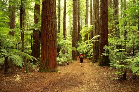 Tramper in redwood forest photo
