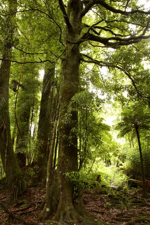 Large tree in tropical forest photo