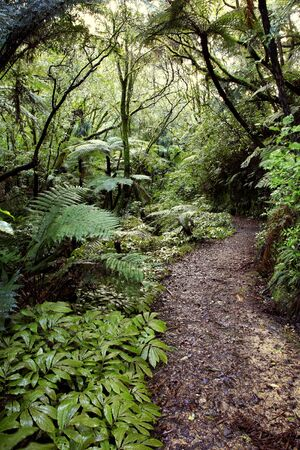 new path: Walkway in tropical New Zealand forest