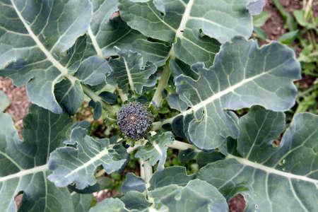 Closeup of broccoli in garden Stock Photo - 11531718