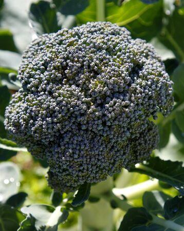 broccolli: Closeup of broccoli in garden Stock Photo