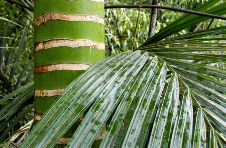 Palm tree and leaves in jungle Stock Photo - 11531918