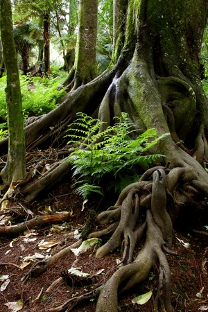 Tree trunk roots in tropical jungle photo