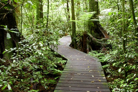 Boardwalk in lush tropical forest photo