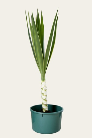 yucca: Yucca plant in pot on plain background