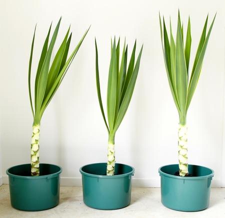 yucca: Three Yucca plants in pots Stock Photo