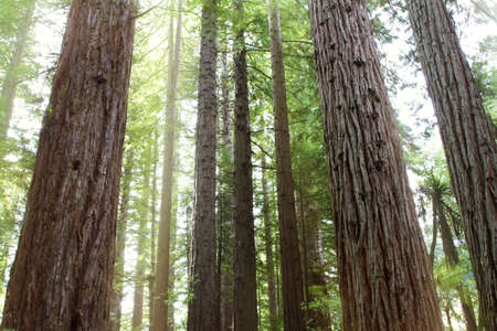 Tree trunks in Redwood forest Stock Photo - 12522998