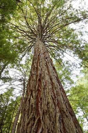 conifers: Looking up trunk of tall Redwood tree