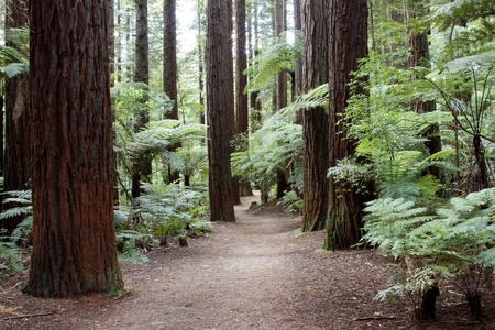 woodland scenery: Trail in Redwood forest Stock Photo