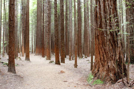 sequoia: Redwood forest