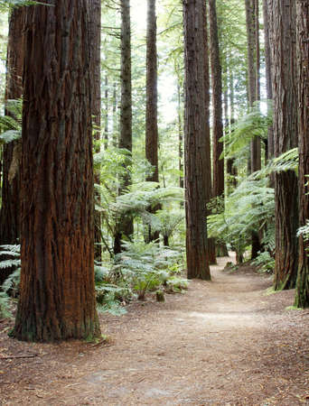 Trail in Redwood forest photo