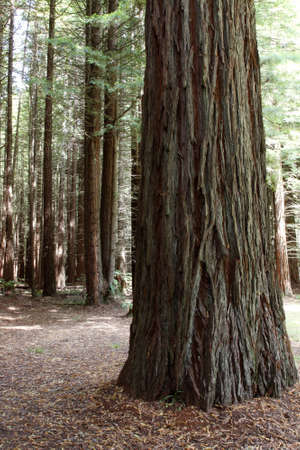 redwood: Large Redwood tree in forest Stock Photo