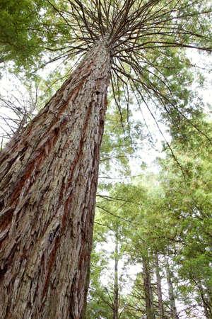 tall tree: Looking up trunk of tall Redwood tree