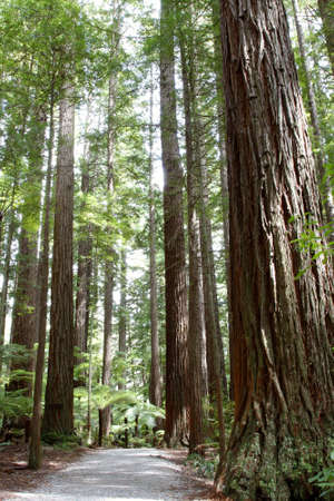 Trail in Redwood forest Stock Photo - 12523055