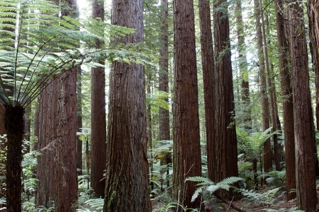 Redwood forest Stock Photo - 12523105