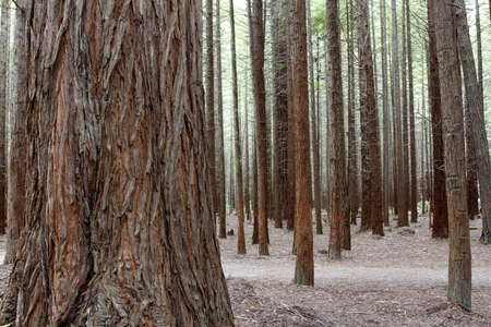 woodland scenery: Tree trunks in Redwood forest