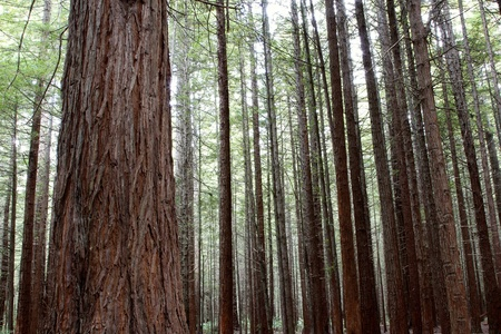 Tree trunks in Redwood forest photo