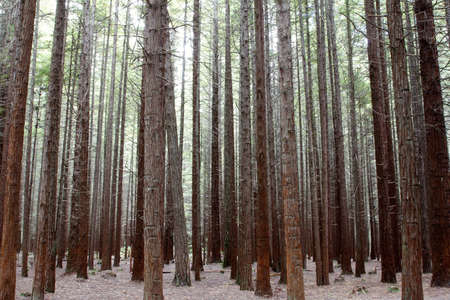 Tree trunks in Redwood forest Stock Photo - 12523114