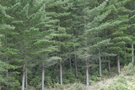 evergreen forest: Pine forest  Grown for timber harvesting Stock Photo