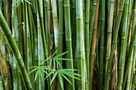 bamboo forest: Bamboo stalks in forest Stock Photo