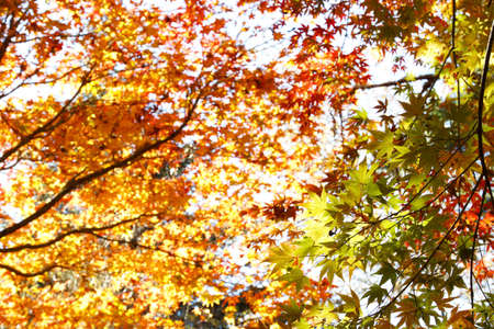 tree canopy: Leaves changing color in Autumn forest