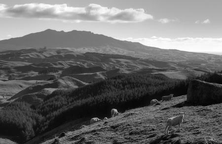 Dramatic landscape and sheep grazing, North Island, New Zealand Stock Photo - 14409029