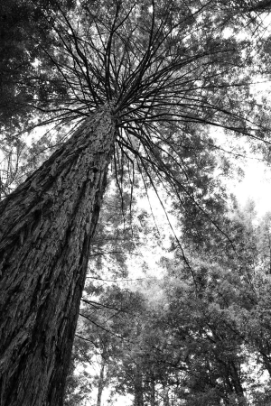 Looking up trunk of tall Redwood tree in forest photo