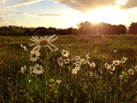 Daisies in a field at sunset photo