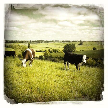 Livestock grazing on hill, New Zealand Stock Photo - 16801169