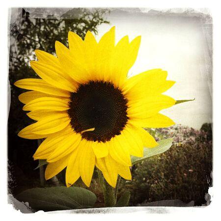 Closeup of large sunflower head Stock Photo - 17249386