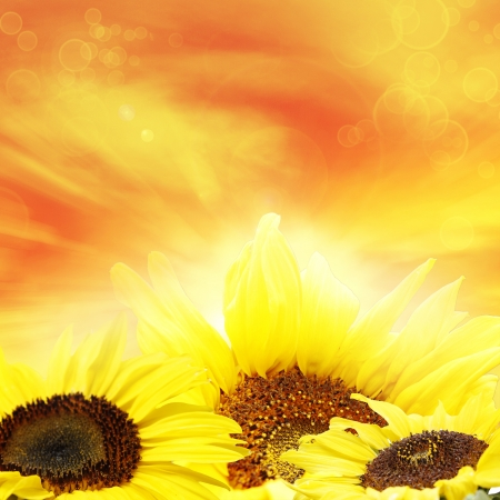 Closeup of sunflowers and bright sky  photo