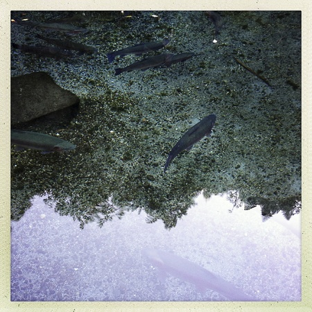 Rainbow trout swimming in clear water Stock Photo - 19556723