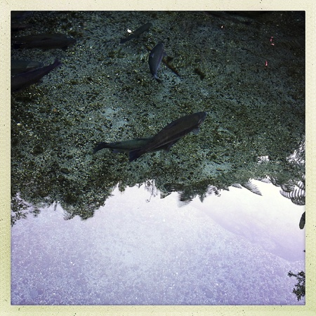 Rainbow trout swimming in clear water Stock Photo - 19556783