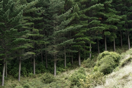 coniferous forest: Pine forest, grown for timber harvesting