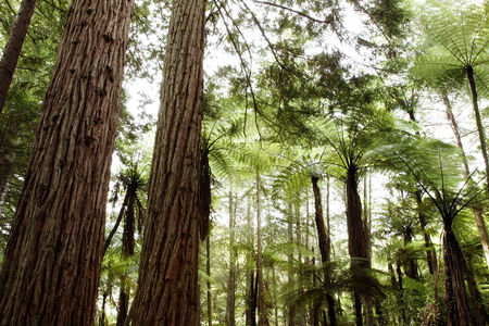 redwood: Redwood and fern trees forest