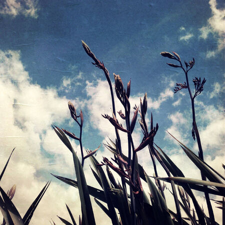 flax: Flax plants and sky, New Zealand