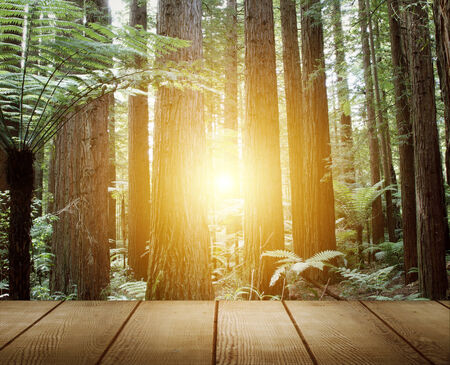 redwood: Sunlight in redwood trees forest