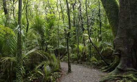 walking trail: Sentiero nella foresta tropicale della Nuova Zelanda Archivio Fotografico